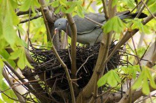 Как голубь учился гнездо вить сказка